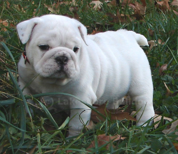 Lakeshore Bulldogs English Bulldog Puppies In Virginia Beach Virginia