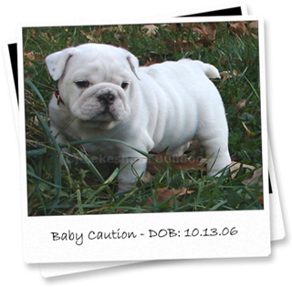 Lakeshore Bulldogs: English Bulldog Puppies in Virginia